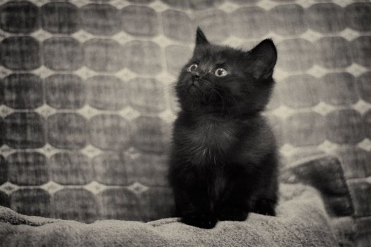 Black_kitten_by_Sebostian