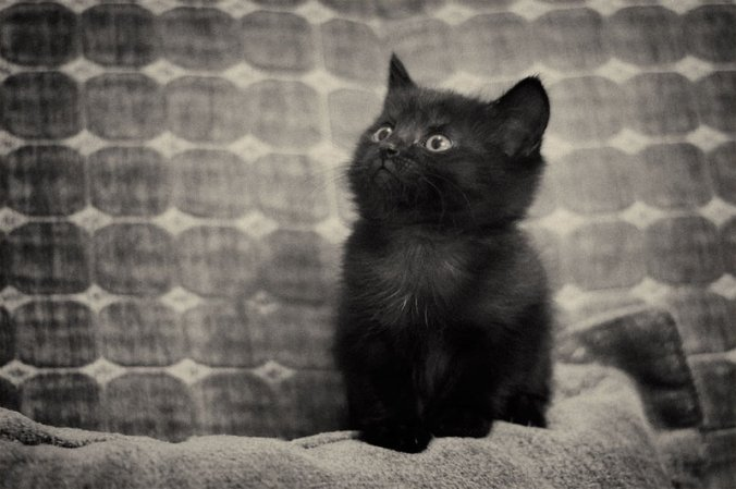 Black_kitten_by_Sebostian